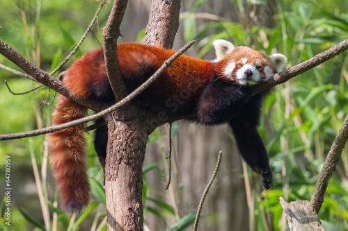Red Panda, Firefox or Lesser Panda Tablou Canvas