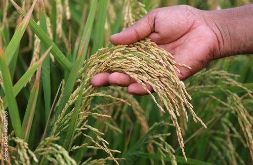Obraz na plátně Paddy seeds holding by hand