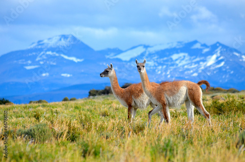 Door stickers Lama guanacos on mountain