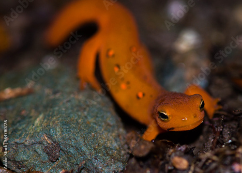 Red eft Canvas Print