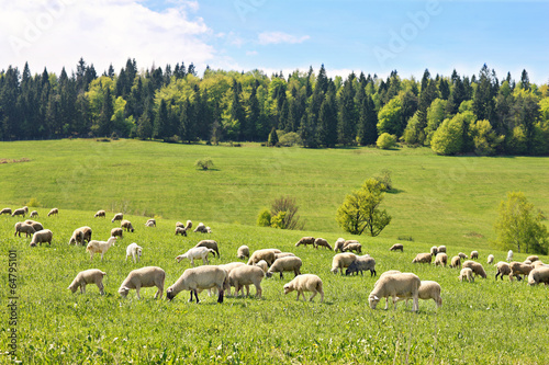 Flock of sheep in Poland Tableau sur Toile