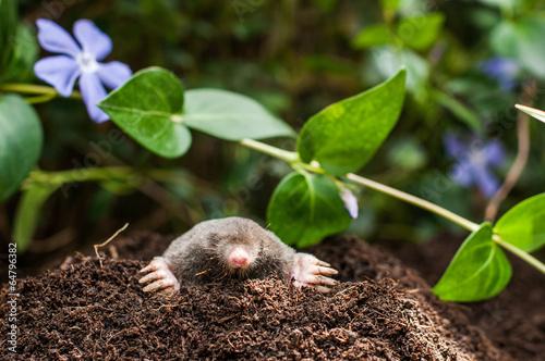 Fototapeta Mole in the hole
