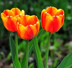 Panel Szklany Tulipany Yellow tulip