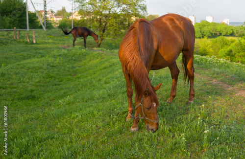 Valokuva  Horses on a spring pasture at evening time