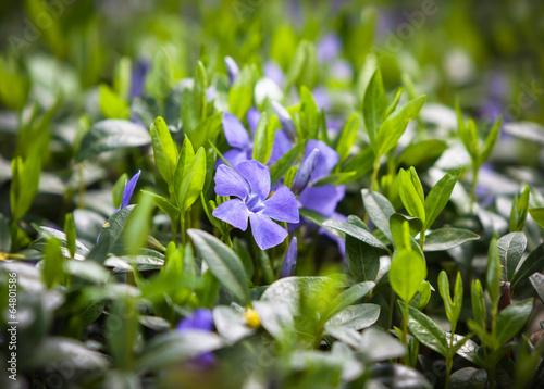 Fotografía  flower vinca minor