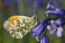 Male Orange Tip Butterfly (Ant...