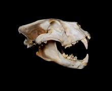 African Lion Skull (Pantera Le...