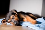 Fototapeta Zwierzęta - Śpiący piesek szczeniak