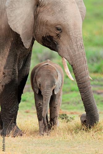 Fototapeta premium Słoń afrykański z łydką, Park Narodowy Amboseli