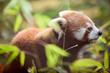 Beautiful red panda in natural habitat