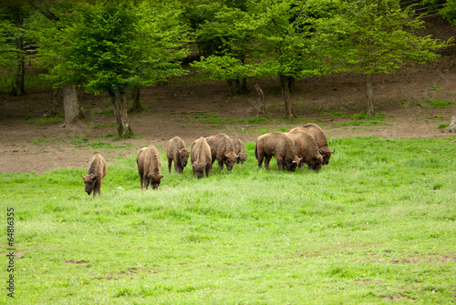 Aluminium Prints A herd of wild wood bisons.