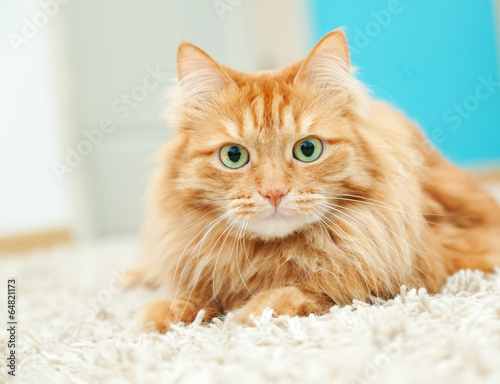 Fotografia funny fluffy ginger cat lying