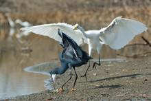 A Western Reef Heron (Egretta Gularis) Scrambling To Pick Up A F
