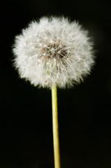 Past bloom dandelion detail