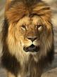 Lion in a shroud