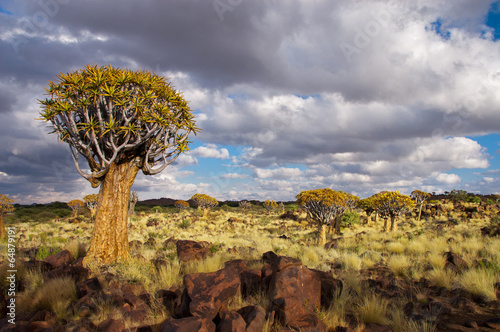 Staande foto Afrika Landscape of Namibia, quiver tree (kokerboom) forest