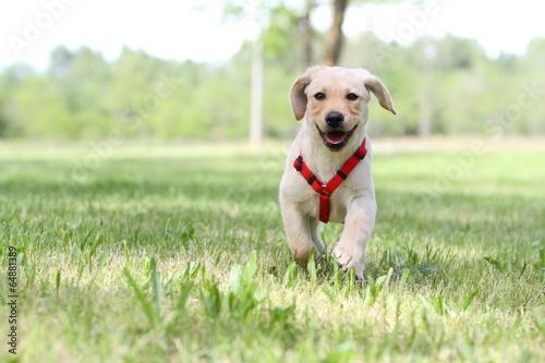 Fotografie, Obraz  cucciolo di labrador