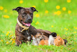 canvas print picture - American staffordshire terrier with little kittens and rabbits