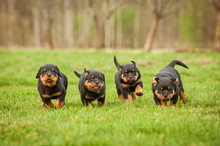 Four Rottweiler Puppies Running
