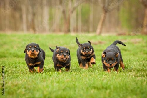 Four rottweiler puppies running Wallpaper Mural