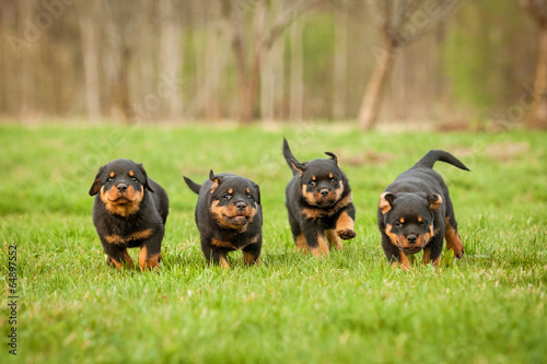 Four rottweiler puppies running Tapéta, Fotótapéta