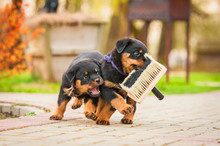 Rottweiler Puppies Playing With Paint Brush