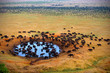 Buffalo at the source