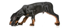 Scenting Dog