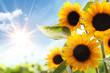 Leinwandbild Motiv Field of sunflowers