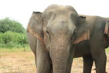 Elefantenbulle Portrait