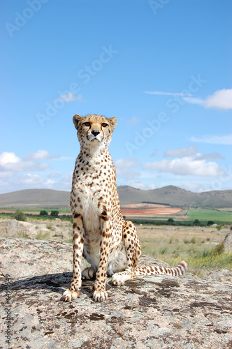 Cheetah's Vertical Portrait