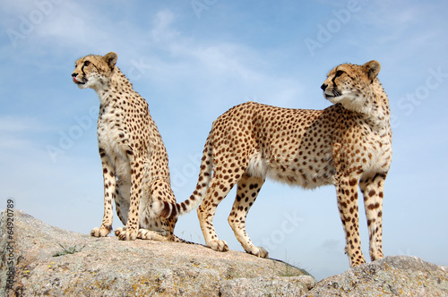 two cute cheetahs buy this stock photo and explore similar images