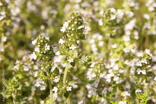 Photo  Thyme Flowers