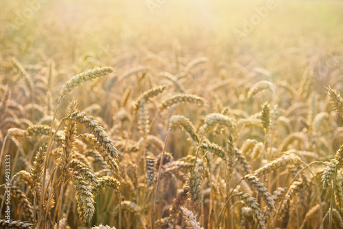 Beautiful detail of wheat field, that ready to be harvested - 64933333