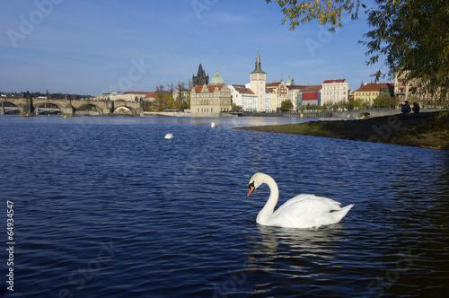 swans in Prague Poster
