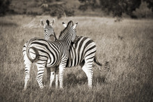 Two Zebras Black And White, South Africa