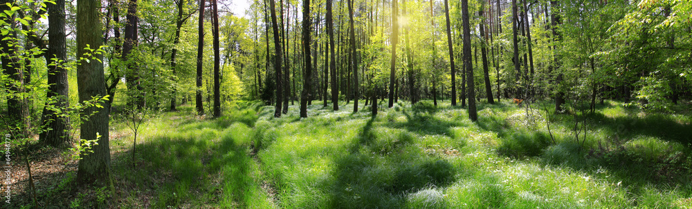 Fototapeta poranna leśna panorama