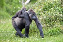 Gorille Et Son Petit De 3 Ans