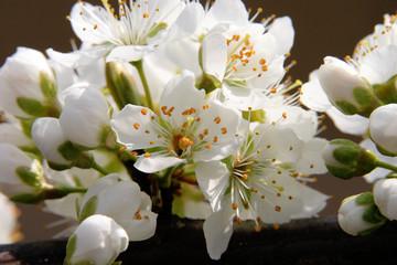 Panel Szklany fioritura primaverile alberi da frutto