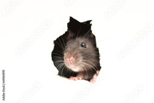 ratto Canvas-taulu