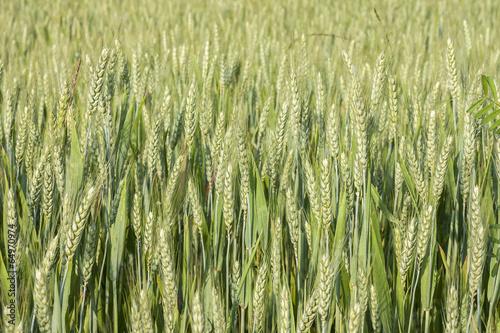 Fotografie, Obraz  Il grano sta crescendo