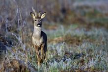 Buck Deer In A Frosty Morning