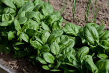 Fresh Spinach, Growing In Garden