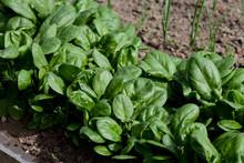 Fresh Spinach, Growing In Garden