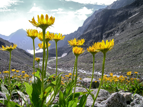 Arnica montana in the alps Canvas Print