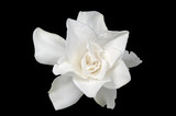 White Gardenia isolated on black