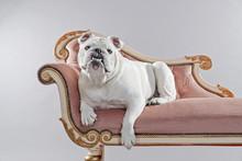 White English Bulldog Lying On...