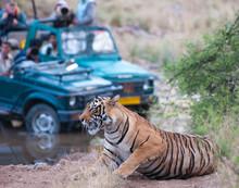 Bengal Tiger Getting Photograp...