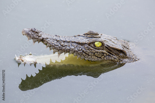 Wall Murals Crocodile Angriffslustiges Krokodil