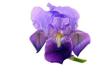 Bearded iris flower isolated on white